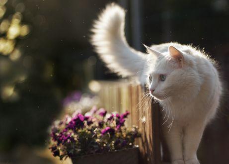 Обои Белая кошка на заборе у горшка с цветами