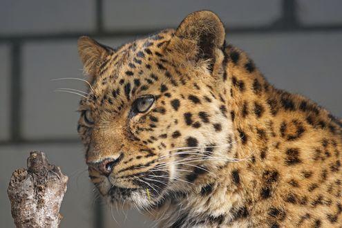 Обои Леопард в вольере