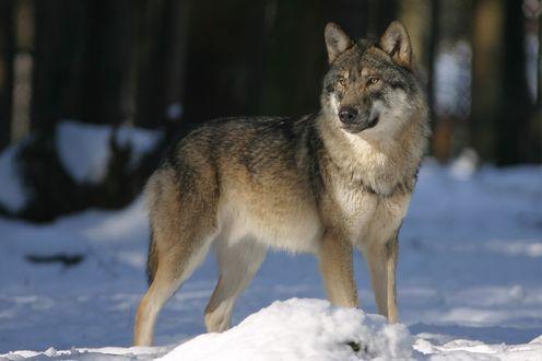 Обои Волк стоит на снегу