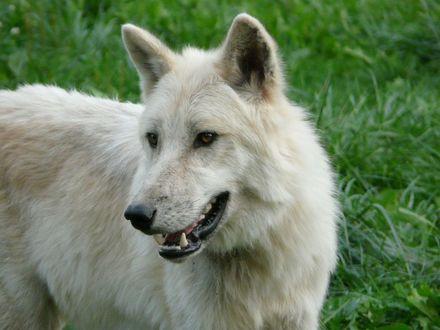Обои Белый волк крупным планом