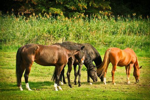 Обои Лошади пасутся на лугу