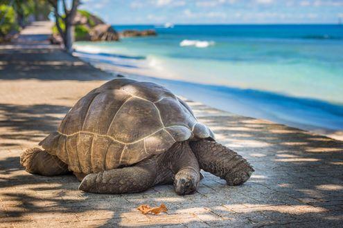 Обои Огромная морская черепаха на набережной у моря, by javarman