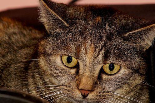 Обои Серая кошка с желтыми глазами