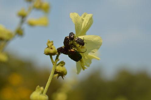 Обои Много жуков на цветке