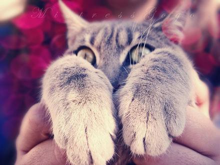 Обои Полосатый кот на руках, by blondepassion