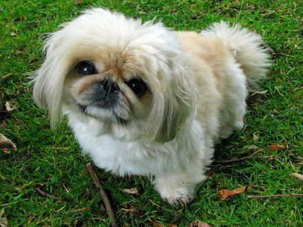 Обои Собака породы пекинес сидит на траве