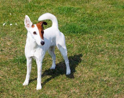 Обои Собака породы гладкошерстный фокстерьер стоит на траве