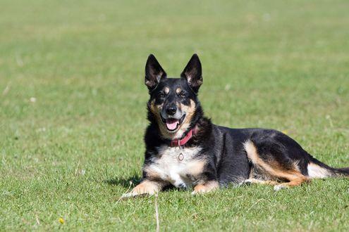 Обои Собака породы немецкая овчарка лежит на траве