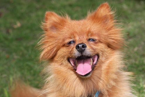 Обои Собака породы шпиц улыбается