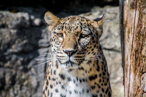 Обои Леопард с желтыми глазами