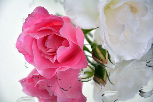 Обои Розовая роза и белая роза с капельками воды на зеркальной поверхности