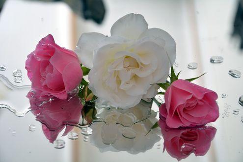 Обои Белая и розовые розы с капельками воды на зеркальной поверхности