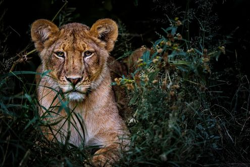 Обои Молодой лев в траве, by Chris Fischer