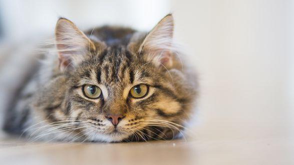 Обои Полосатый кот лежит на полу