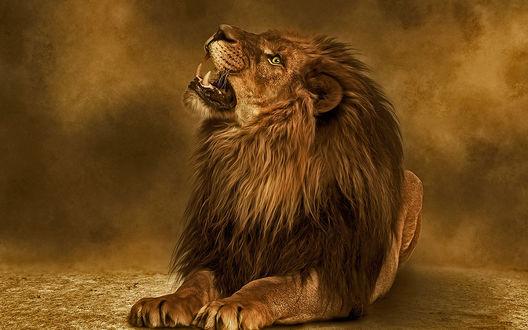 Обои Грозный лев поднял вверх голову и открыл пасть