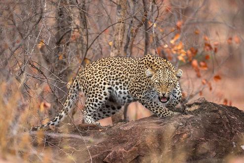 Обои Леопард стоит на камне, фотограф Rudi Hulshof