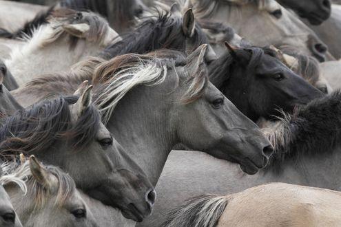 Обои Табун несущихся лошадей