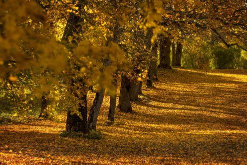Обои Аллея в парке усыпанная опавшими листьями в солнечный осенний день