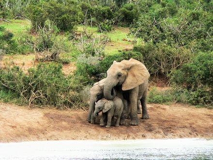 Обои Слониха и слонята стоят на земле на фоне кустарника
