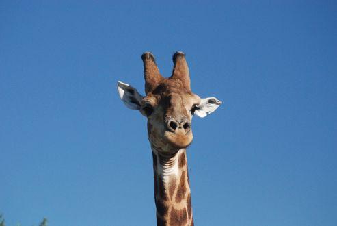 Обои Голова жирафа на фоне неба