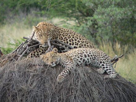 Обои Леопард с детенышем лежат на куче сухой травы