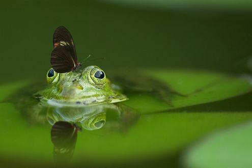 Обои Лягушка сидит в воде с бабочкой на голове