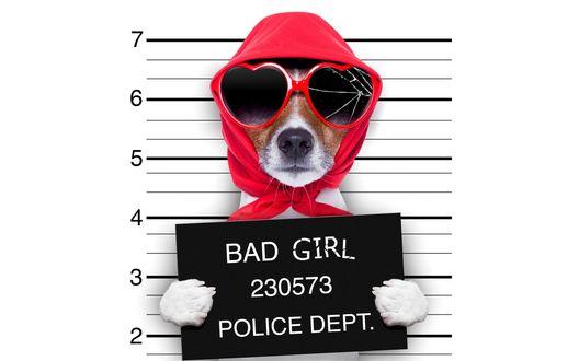 Обои Фото джек-рассел-терьера в платке, солнцезащитных очках, с табличкой в передних лапах / BAD GIRL 230573 POLICE DEPT (ПЛОХАЯ ДЕВОЧКА ПОЛИЦЕЙСКИЙ УЧАСТОК 230573)