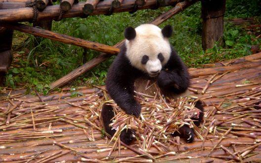 Обои Панда сидит на бревенчатом настиле