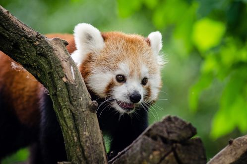 Обои Красная панда в полупрофиль у сухого дерева