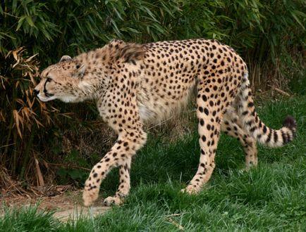 Обои Гепард стоит на траве