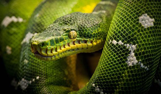 Обои Змея крупным планом