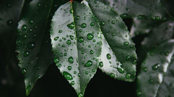 Обои Капли дождя на листьях