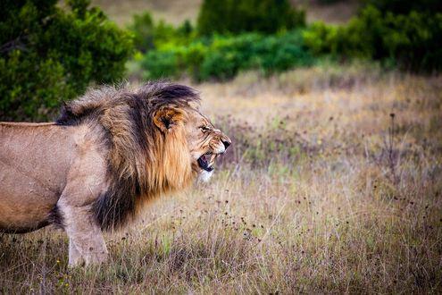 Обои Лев с оскаленной пастью в профиль стоит на сухой траве