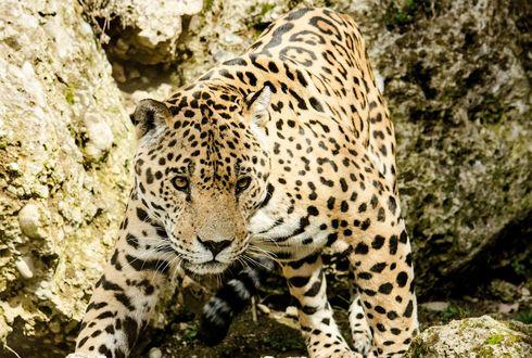 Обои Леопард стоит на камнях