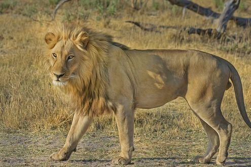Обои Лев стоит на земле