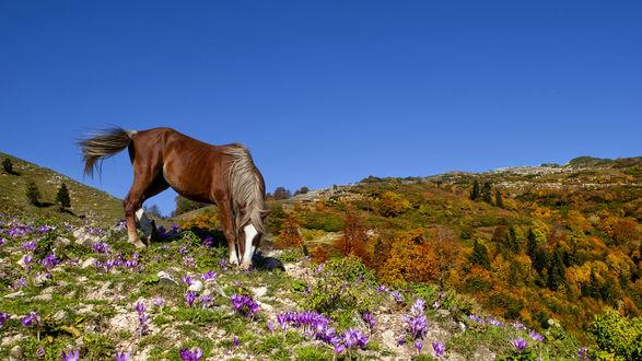 Обои Лошадь на склоне, поросшем весенними цветами, на фоне долины с осенним лесом, фотограф Romani Tolordava