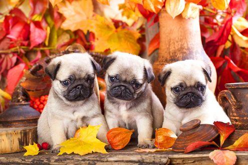 Обои Три маленьких мопса среди осенних листьев и глиняной посуды