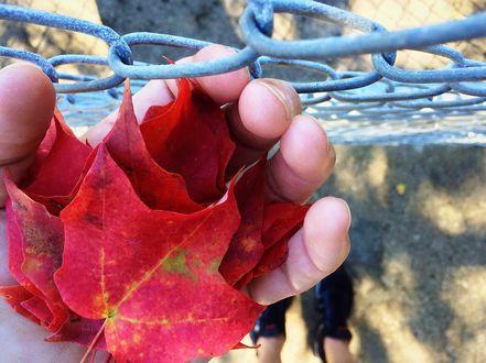 Обои Осенние листья в руке человека