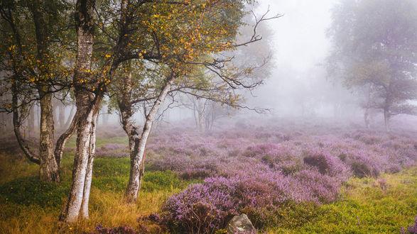 Обои Раннее утро, березы окружают полянку с цветами