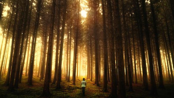 Обои Женщина идет по сосновому лесу, который освещает солнце