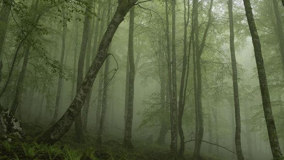 Обои Туман в летней чаще