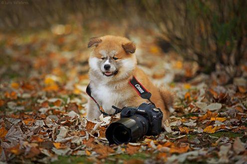 Обои Пес с фотоаппаратом сидит на осенней листве, фотограф Luis Valadares