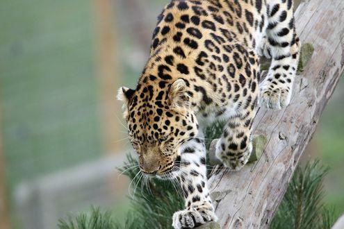 Обои Леопард идет по бревнышку