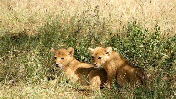 Обои Маленькие львята лежат в траве