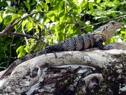 Обои Игуана сидит на корнях вывернутого дерева