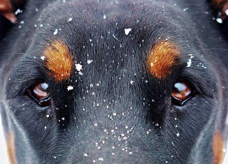 Обои На морду собаки падают хлопья снега