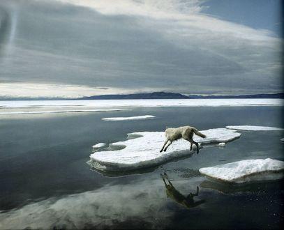 Обои Волк во время ледохода на реке перепрыгивает со льдины на льдину