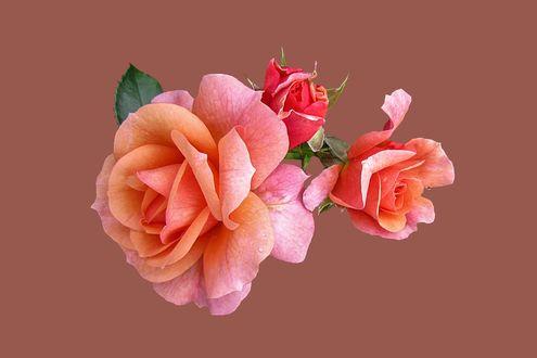 Обои Розы с бутонами