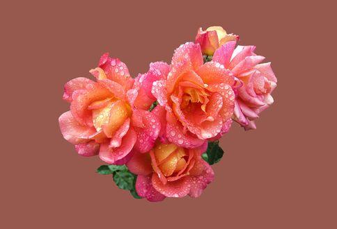 Обои Розовые розы с капельками воды