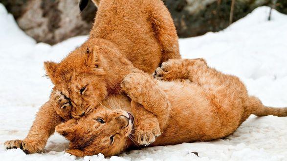 Обои Львята играют на снегу